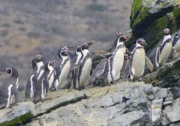 Chile rechaza proyecto minero para proteger pingüinos en peligro de extinción