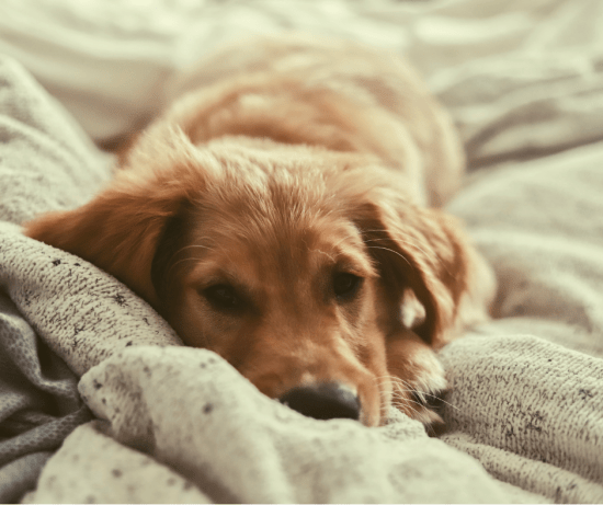 Cozy puppy snuggles on soft blanket