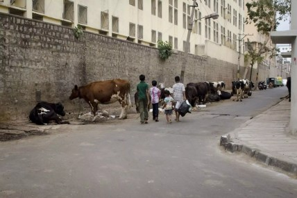 Places to visit in Bangalore: The Ubiquitous Cows