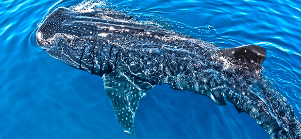 Whale Sharks Cancun Best Time