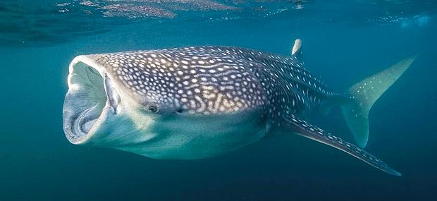 When is whale shark season in Cancun