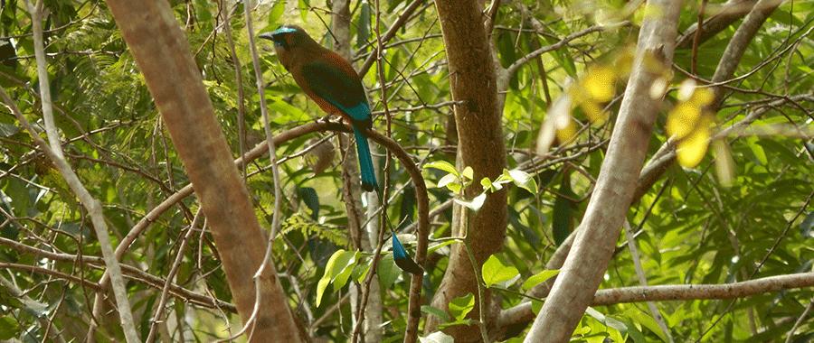 mot mot birdwatching route of cenotes contoyexcursions puerto morelos