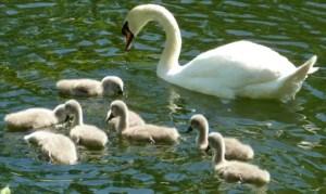 Royal Swan Upping - River Thames - Contrary Life