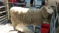 Celebrate British wool with the Glastonbury Wool & Alpaca Festival 2013