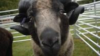 Findon Sheep Fair 2014