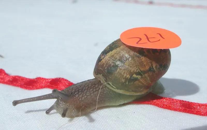 World Snail Racing Championships- Photo Tony Scase News Service Ltd