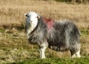 Masham Sheep Fair 2018 - Contrary Life - Yorkshire Dales events