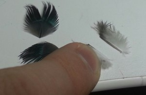 Pic 17A Feathers