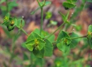 Euphorbia terracina (Copyleft, NPS)