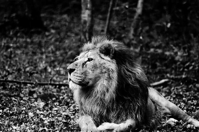 Lion en Afrique pouvoir (credits Anne LANDOIS-FAVRET, licence creative commons)