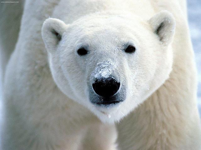 Snow on Snout, Polar Bear credits flickrfavorites (CC BY 2.0)