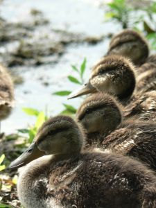 ducks-in-a-row-830895-m