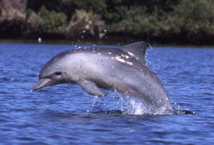 Dolphin breaching water