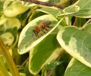 Bee collecting water