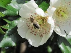 Bee on eucryphia