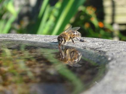 Bee collecting water from a bird bath. Pic from Barry Griffiths.
