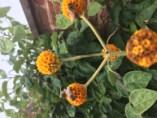 Buddleia globosa, pic from Nigel Clay