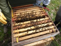 Nice strong gentle colony of bees. Don't you just love 'em?