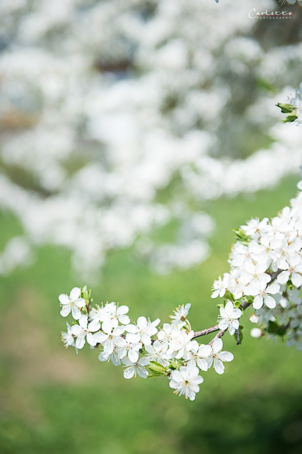 Apfelbaum Blüte