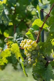 Niederösterreich Weingut Salomon_2656