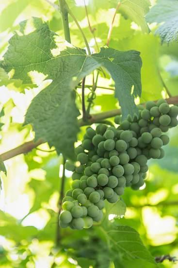 Österreich Wein Wieninger_2046