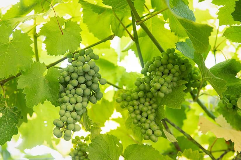 Österreich Wein Wieninger_2054