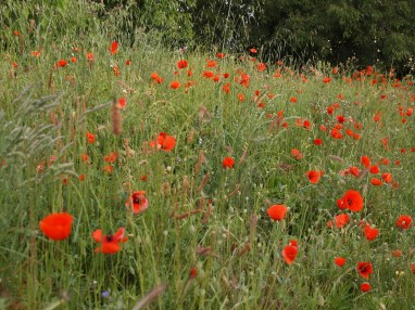 Beautiful fileds of poppies