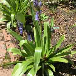 Spanish bluebells in the garden, starting to bloom, but not yet in full glory.