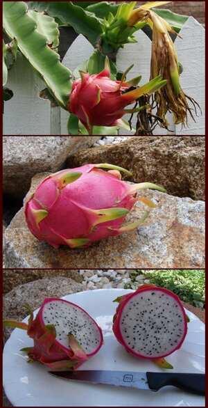 Dragon Fruit Cooking Wiki