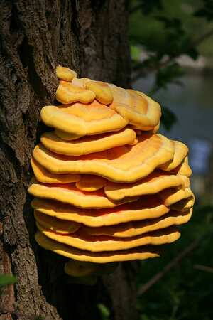 Chicken of the woods mushroom: Cooking Wiki