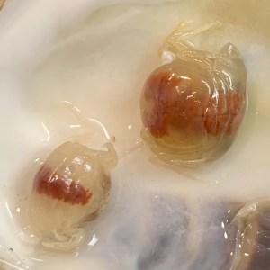 Pea Crab closeup