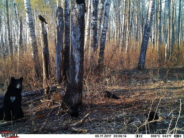 black bear trail cam - image