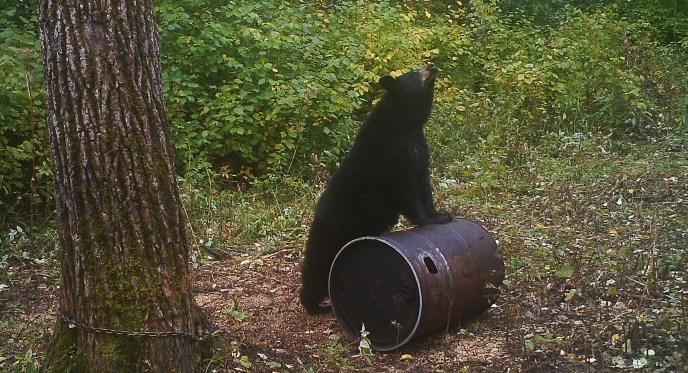 saskatchewan back bear - image