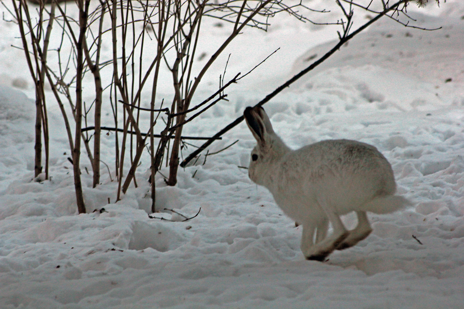 Arctic Hare Facts And Adaptations
