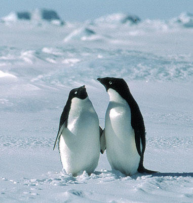 adorable adelie penguins