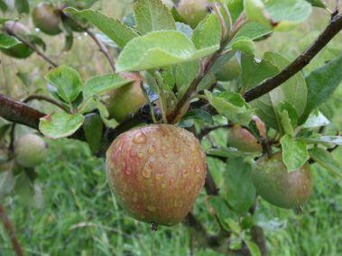lomond-appletree-orchard