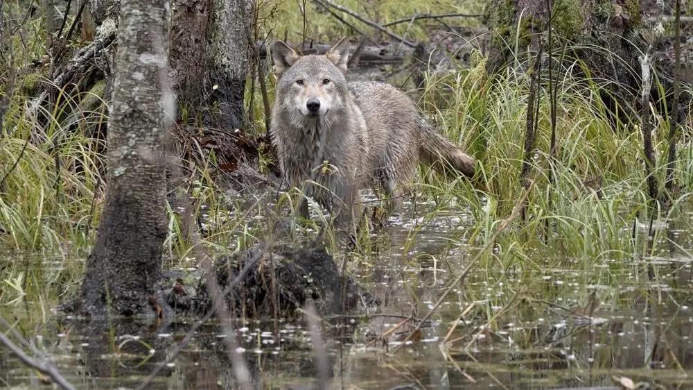 Wolf 4a