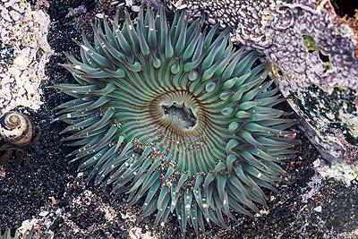 Sea anenome sm - Los Invertebrados Definición y carateristicas