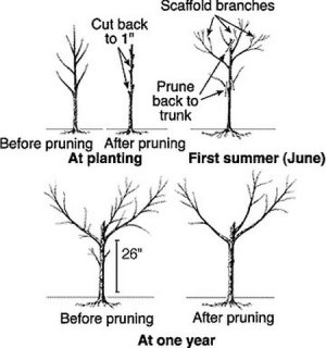 Growing Peaches And Nectarine