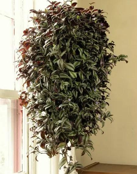 Indoor Hanging Baskets Plants
