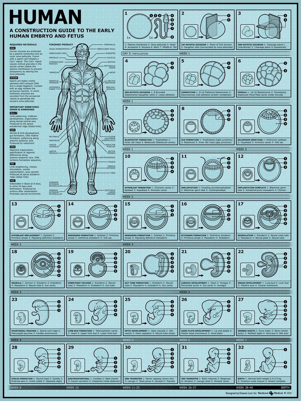 een bouwhandleiding voor het menselijke embryo