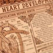 van embryo tot aan hart