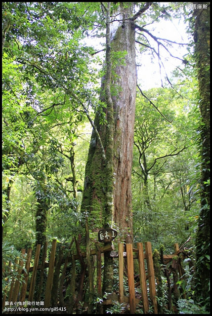 新竹尖石【司馬庫斯-下】巨木森林的震撼生命力 @麻吉小兔吃貨旅行團