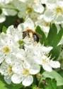 Abeille solitaire du genre Andrena haemorrhoa