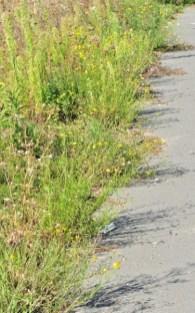 Le séneçon du Cap (ici en compagnie de la vergerette du Canada, autre plante invasive) envahit les endroits les plus inattendus comme les bords de trottoirs ou le ballast du chemin de fer.