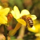 Le_jasmin_à_fleurs_nues_6