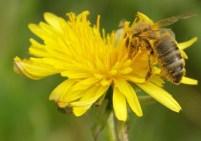 abeille-sur-fleurs