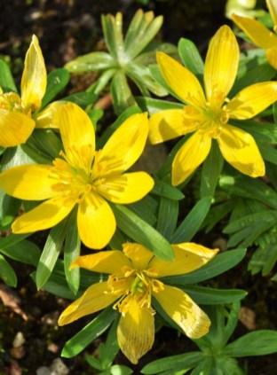 plante mellifere yranthe d hiver jacques piquée coopapiloire (3)