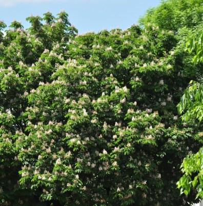 plante_mellifere_le_marronnier_blanc_jacques_piquée_coopapiloire (3)
