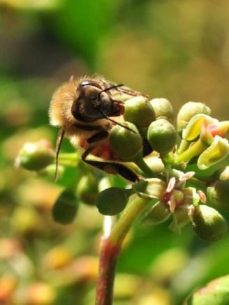 plante_mellifere_parthénocisse_a_5_folioles_jacques_piquee_coopapiloire (3)